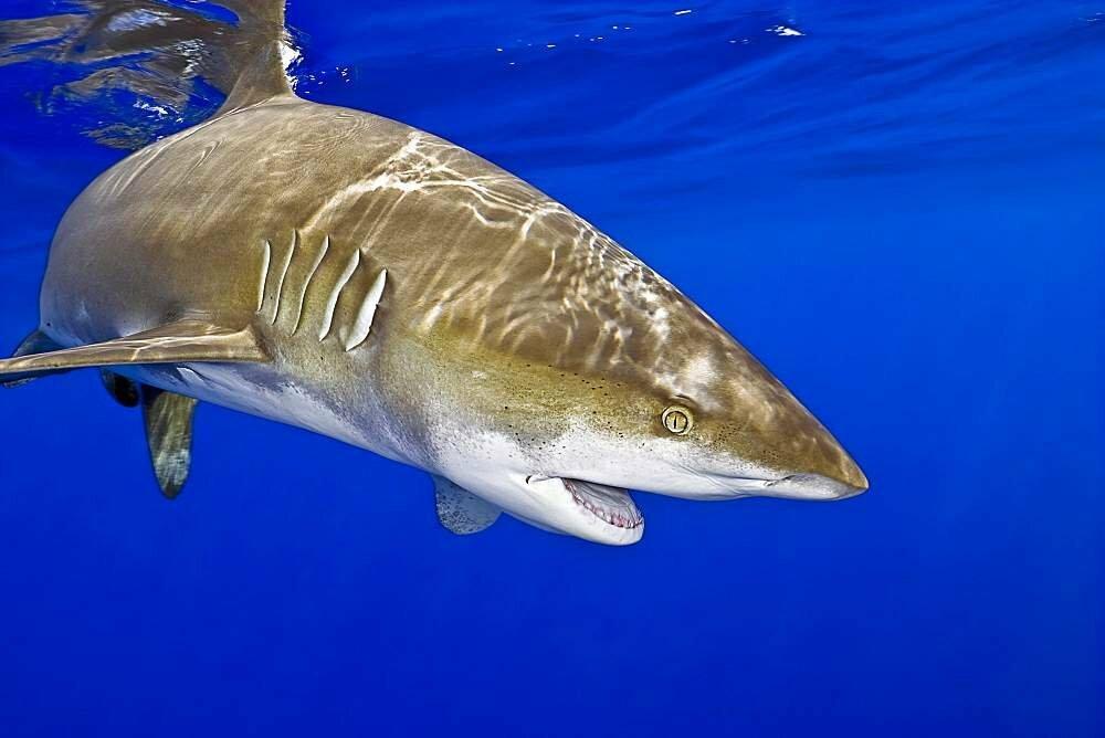 Источник фотографии https://animalreader.ru/wp-content/uploads/2018/07/Dlinnoplavnikovaya-dlinnokrylaya-akula-Carcharhinus-longimanus-006.jpg